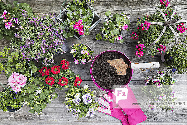 Flowers in pots and gardening gloves