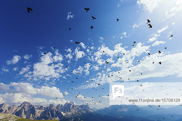Italy  Trentino-Alto Adige  Large flock of birds flying over Dolomites