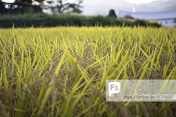 Japan  Takayama  Nahaufnahme von gelben Grashalmen