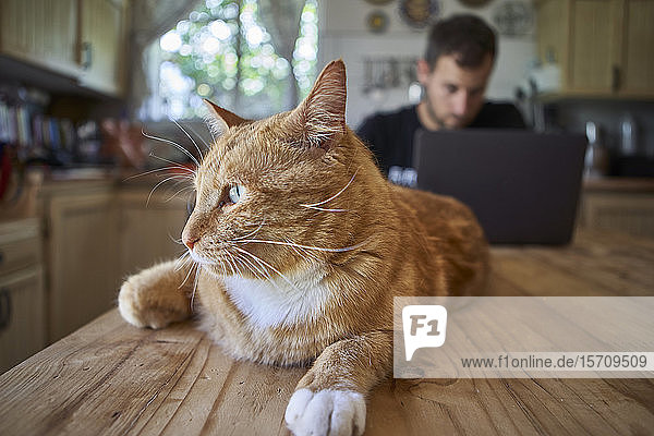 Ingwer-Katze liegt auf dem Küchentisch  während der Mann seinen Laptop benutzt