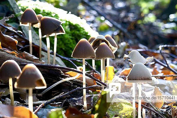 Deutschland  Sachsen  Pilze  die im Herbstwald wachsen