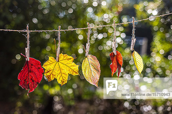 Germany  Bavaria  Landshut  Differently colored autumn leaves hanging on clothesline