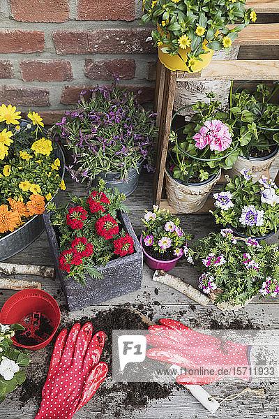 Bunte  frisch getopfte Sommerblumen