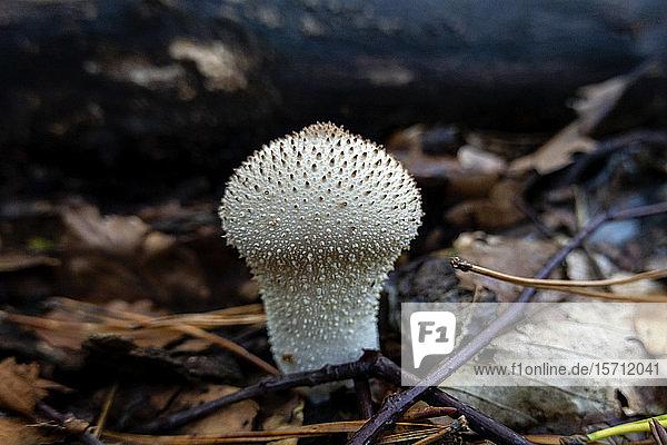 Deutschland  Bayern  Ebrach  Gewöhnlicher Schneeball (Lycoperdon perlatum) wächst im Herbstwald