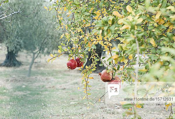 Turkey  Izmir Province  Foca  Pomegranates growing on tree