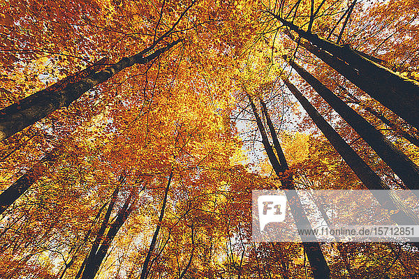 USA  Tennessee  Canopies of yellow forest trees in autumn