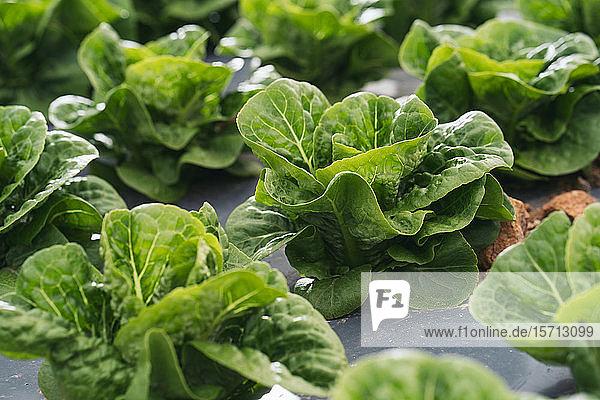 Nahaufnahme eines Salatfeldes