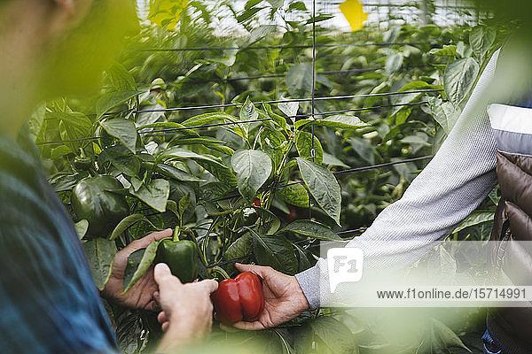 Pflanzenansicht von Männern  die Paprika in einem Gewächshaus ernten  Almeria  Spanien