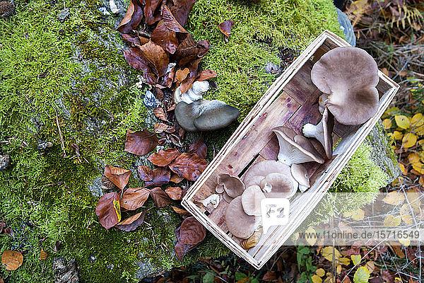 Deutschland  Bayern  Schienenkorb mit gesammelten Austernpilzen im Herbst