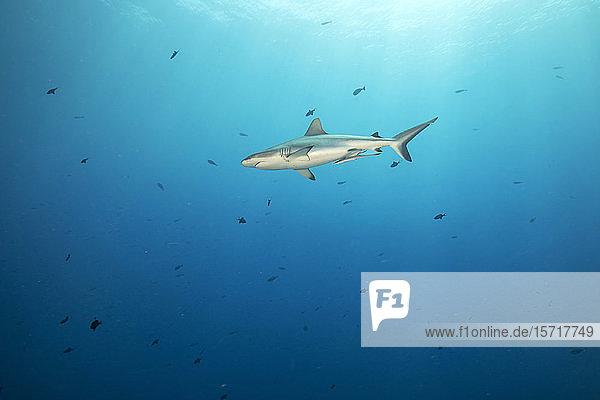 Palau  Blaue Ecke  im Meer schwimmender Grauer Riffhai (Carcharhinus amblyrhynchos)