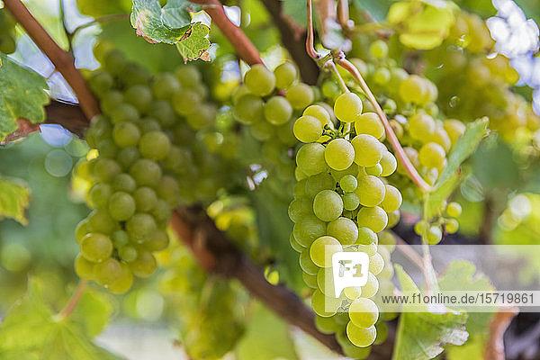 Neuseeland  Region Marlborough  Nahaufnahme der im Weinberg wachsenden Sauvignon-Blanc-Trauben