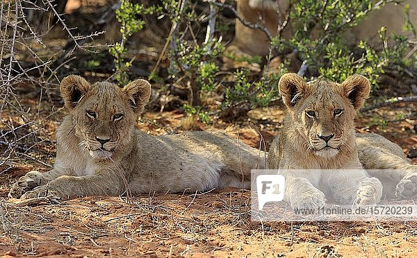 Lions (Panthera leo)  two young animals resting in the shade  Tswalu Game Reserve  Kalahari  North Cape  South Africa  Africa