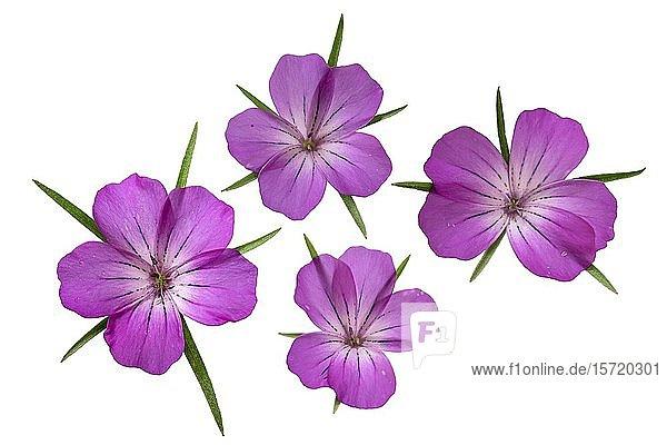 Gewöhnliche Kornrade (Agrostemma githago)  Blüten  Deutschland  Europa