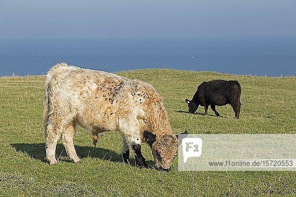 Rinder weiden im Oberland  Helgoland  Schleswig-Holstein  Deutschland  Europa