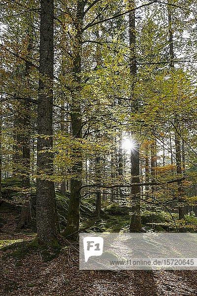 Sonnenstrahlen scheinen durch Mischwald im Herbst  Hinterzarten  Schwarzwald  Baden-Württemberg  Deutschland  Europa