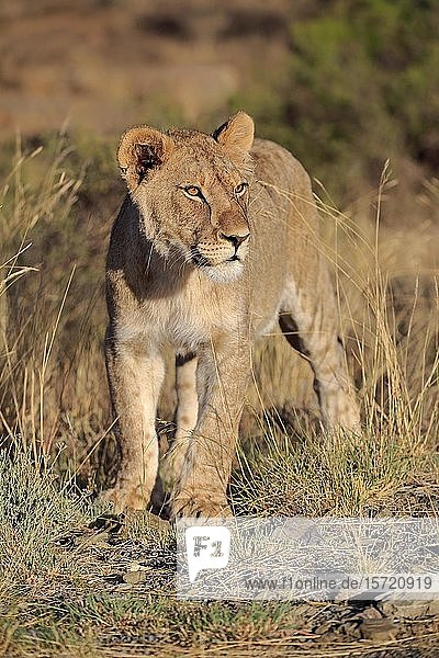 Lioness (Panthera leo)  subadult  looking out  Mountain Zebra National Park  Eastern Cape  South Africa  Africa
