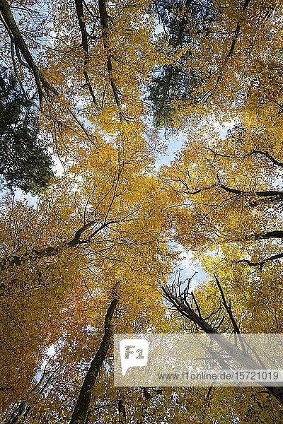Blick von unten in die Baumkronen  gelber Buchenwald im Herbst  bei Sipplingen  Überlingen  Bodensee  Baden-Württemberg  Deutschland  Europa