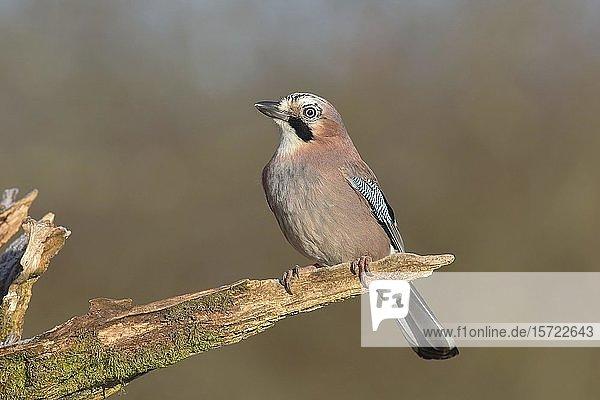 Eichelhäher (Garrulus glandarius) sitzt auf Ast  Siegerland  Nordrhein-Westfalen  Deutschland  Europa