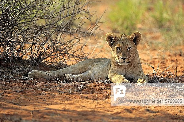 Lion (Panthera leo)  young animal rests in the shade  Tswalu Game Reserve  Kalahari  North Cape  South Africa  Africa