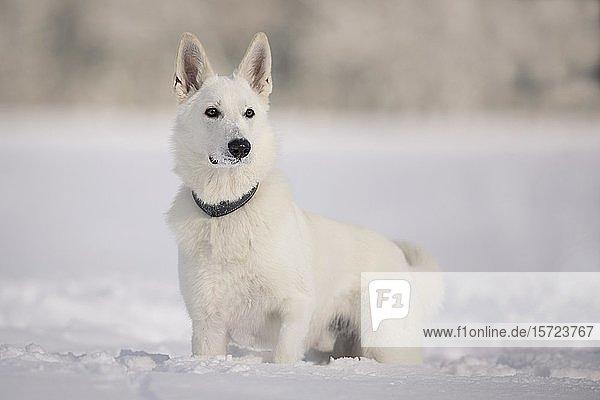 Weißer Schäferhund Rüde im Schnee  Tirol  Österreich  Europa