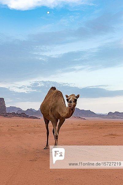 Kamel  Wadi Rum Wüste  Jordanien  Asien