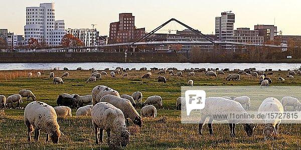 Schafe weiden auf den Wiesen am Rheinufer vor den Gehry Bauten und der Hafenbrücke  Düsseldorf  Nordrhein-Westfalen  Deutschland  Europa