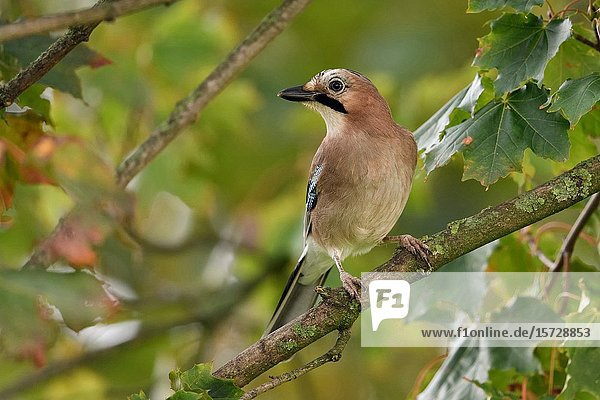 Eurasian Jay ( Garrulus glandarius )  perched in a tree  watching around  very attentive bird  wildlife  Europe.