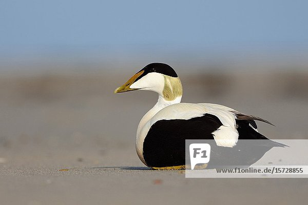 Common Eider ( Somateria mollissima )  male  drake  resting on the beach  in breeding dress  Helgoland  Germany  wildlife  Europe.