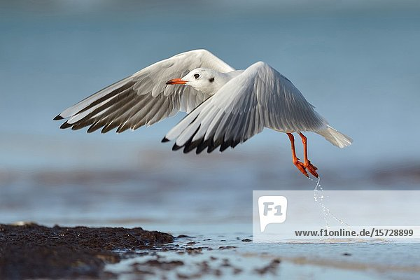Black-Headed Gull ( Chroicocephalus ridibundus ) in winter dress  taking off from water line  wildlife  Europe.