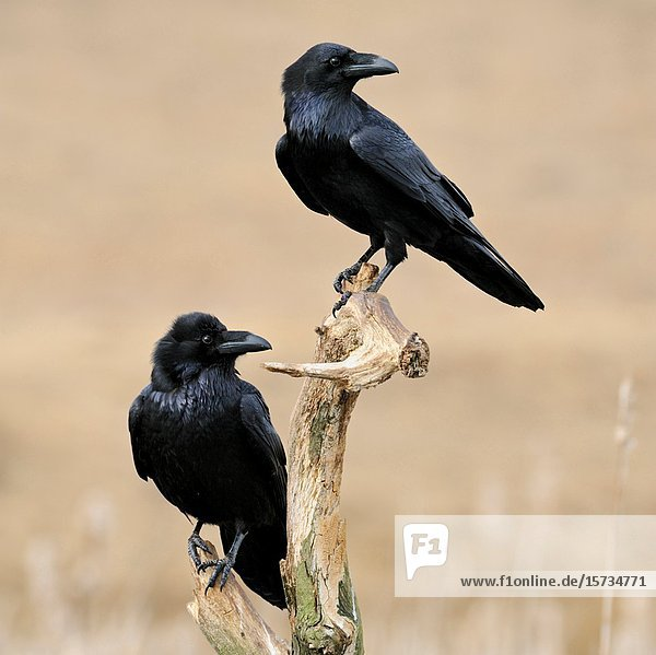 Common Raven / Kolkraben ( Corvus corax )  two together  perched on the rest of a rotten tree above reeds in wetland  turning heads  wildlife  Europe.