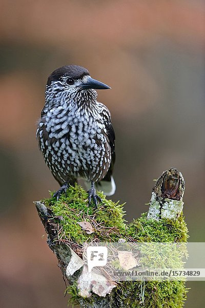 Spotted Nutcracker ( Nucifraga caryocatactes )  perched on a rotten tree stump  watching around attentively  typical behavior  wildlife  Europe.