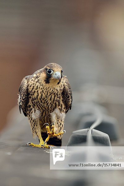 Peregrine Falcon / Wanderfalke ( Falco peregrinus )  young adolescent  walking  marching along a roof edge  watching curious  looks funny  wildlife  Europe.