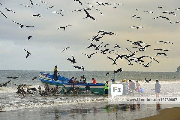 Pelicans and frigatebirds approaching fishing boats in Puerto López  Ecuador.