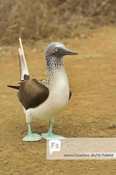 Blue-footed Booby (Sula nebouxii)  Isla de Plata  Ecuador.