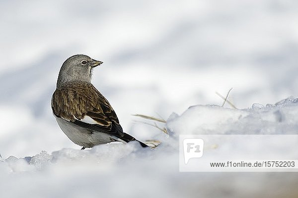 White-winged Snowfinch / Schneesperling ( Montifringilla nivalis ) in snow covered surrounding watching around.