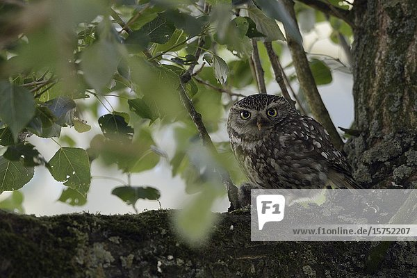 Little Owl / Steinkauz ( Athene noctua )  adult  perched in an old tree with prey  caught a mouse  holding a rodent in its talons  claws  wildlife  Europe.