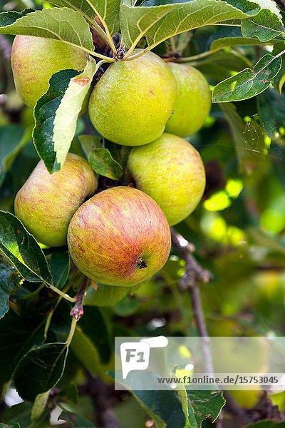 Fresh fruit growing in garden. England UK.