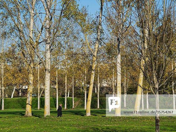 Woman walking through row of poplar  populus  trees  Marmande  Lot-et-Garonne Department  Nouvelle Aquitaine  France.