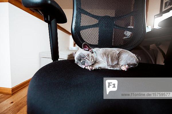Französischer Bulldoggen-Welpe schläft auf Bürostuhl