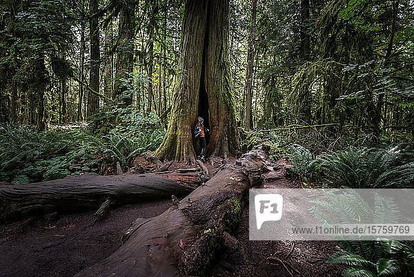 Frau steht in Baumhöhle im Wald  Cathedral Grove  Britisch-Kolumbien  Kanada