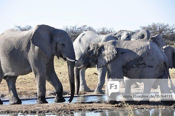 Namibia: A Herd of elephants at the waterhole near Namutomi in Etosha National Park.