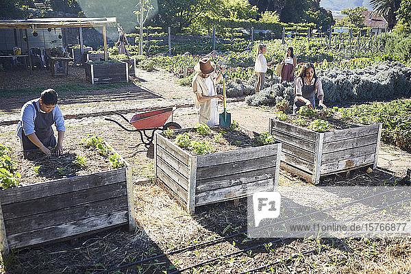 People gardening in sunny community garden
