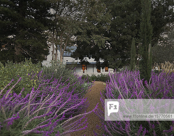 Idyllic  tranquil lavender path leading to house