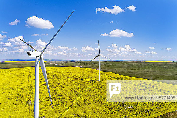 Large wind turbines and a flowering canola field with blue sky and clouds  East of Pincher Creek; Alberta  Canada
