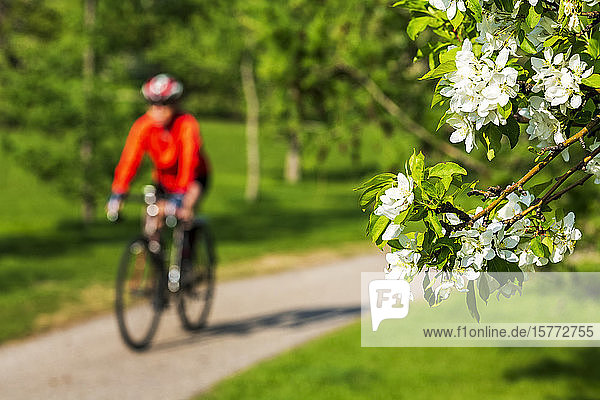 Female cyclist along pathway with apple blossoms framing the foreground ; Calgary  Alberta  Canada