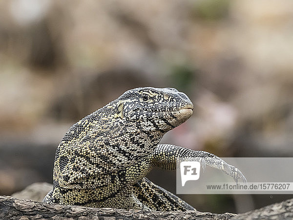 An adult water monitor lizard (Varanus niloticus)  in Chobe National Park  Botswana  Africa