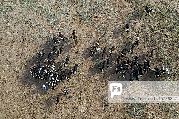 Aerial of cattle moving to a waterhole  Gerewol festival  courtship ritual competition among the Wodaabe Fula people  Niger  West Africa  Africa
