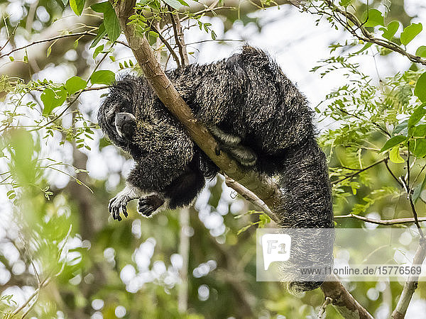 An adult monk saki monkey (Pithecia monachus)  near the Oxbow lake Atun Poza  Iquitos  Peru  South America