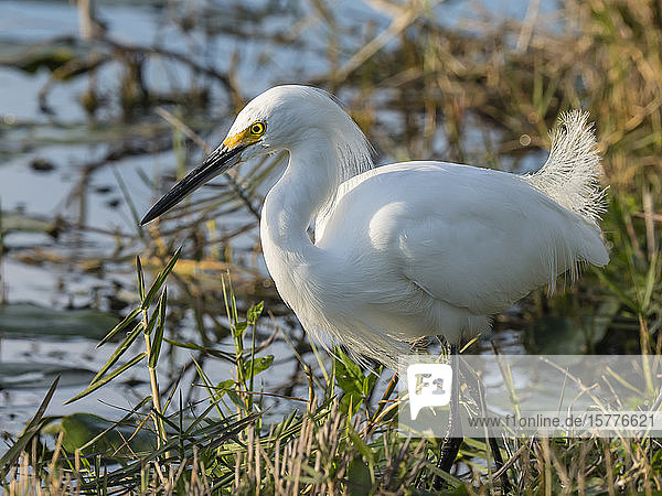 Adult snowy egret (Egretta thula)  Shark Valley  Everglades National Park  Florida  United States of America  North America