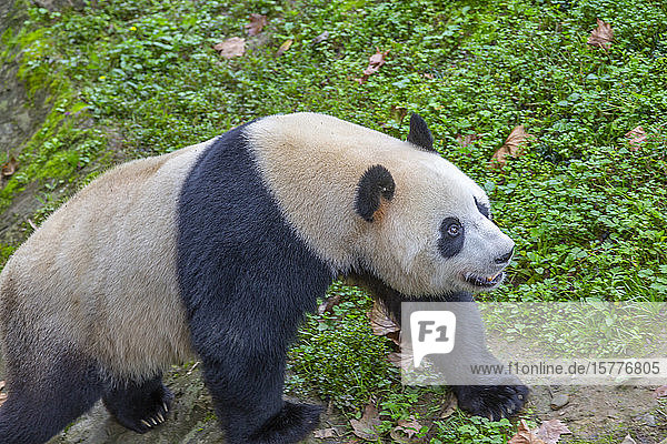 View of Giant Panda in the Dujiangyan Panda Base  Chengdu  Sichuan Province  People's Republic of China  Asia